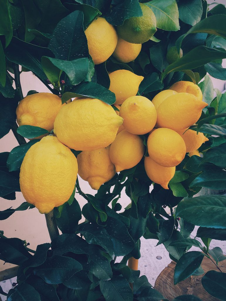 Citronträd med mycket frukt