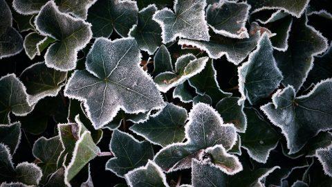 Vintergröna blad