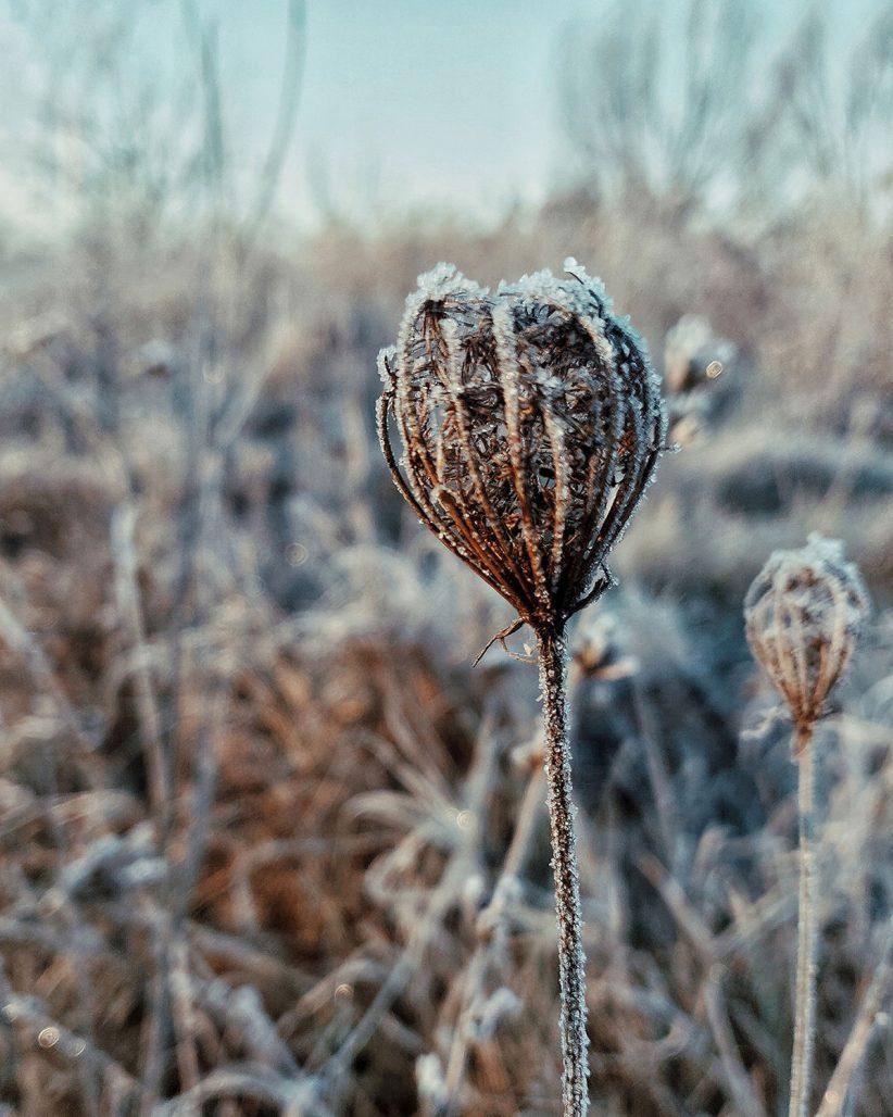 Frostbildning på fröställning i trädgården
