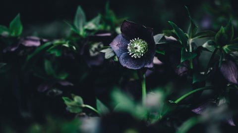 Mörka växter i trädgården
