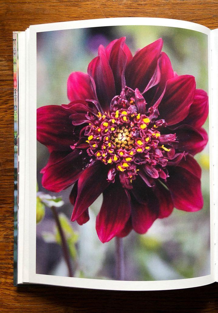 Blomma ur boken The Flower Field av Arthur Parkinson