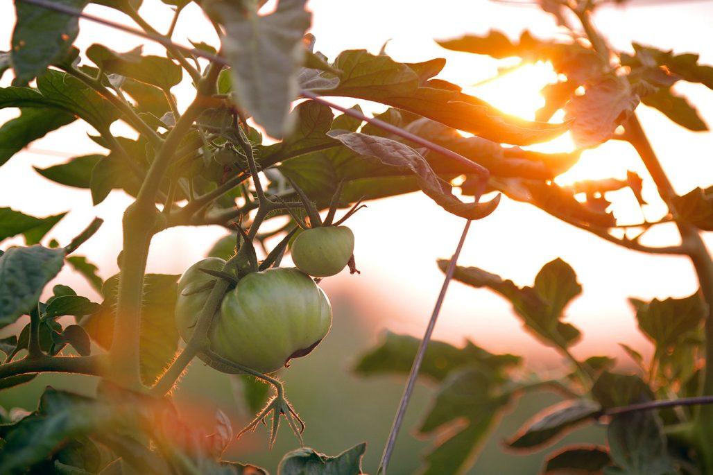Omogna tomater toppas i augusti för att hinna mogna