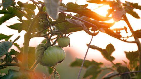 Toppa omogna tomatplantor i augusti