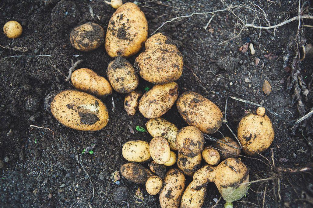 Nyplockad potatis