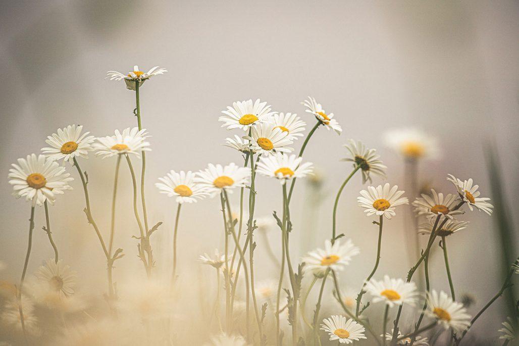 Prästkragar kan blomma en andra gång genom att du knipsar bort överblommade blommor