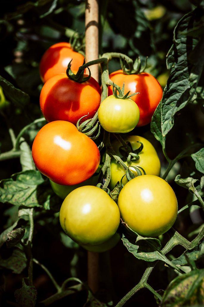 Undvik att tomaterna drabbas av sjukdomar