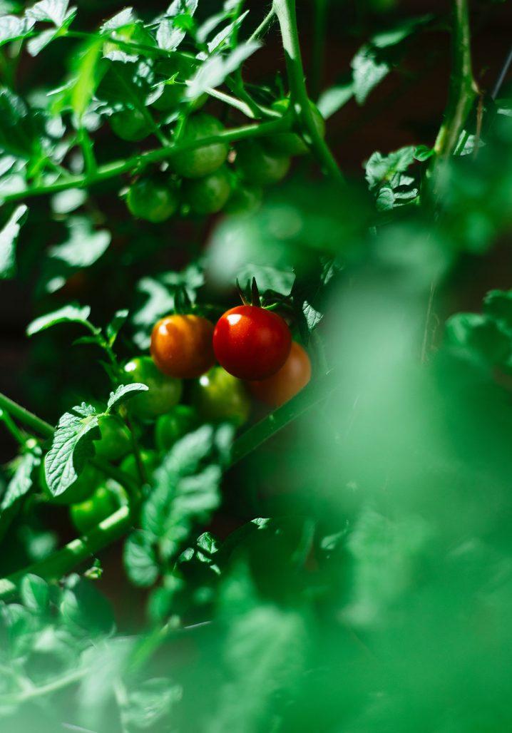"""Tjuva tomatplantan för att """"tjuvarna"""" inte ska stjäla energi"""
