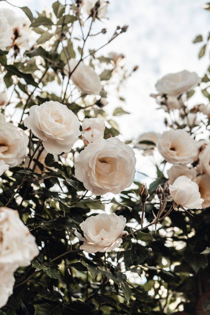 Skydda rosorna i höst